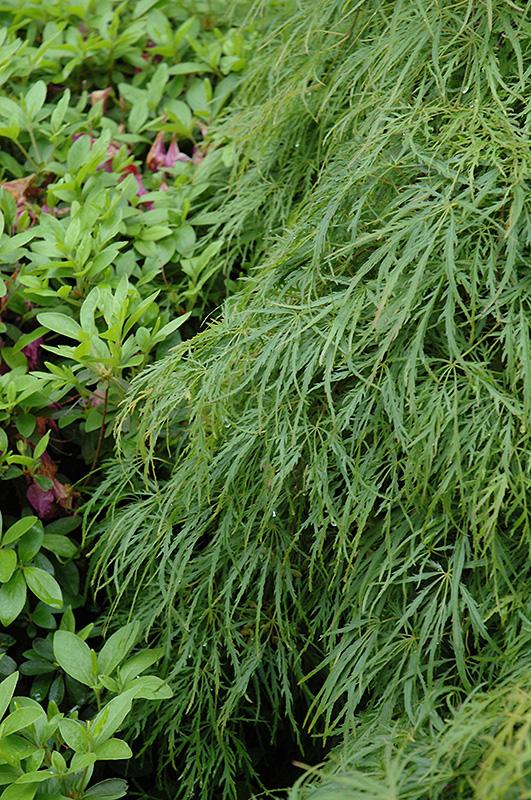 Cutleaf Japanese Maple Acer Palmatum Dissectum Viridis In Ottawa