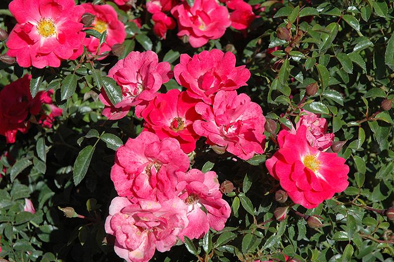 Flower Carpet Pink Supreme Rose Rosa Flower Carpet Pink
