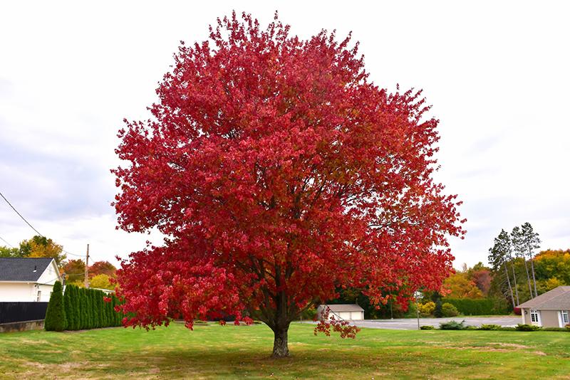 Red Maple Acer Rubrum In Ottawa Gatineau Kanata Nepean Brockville