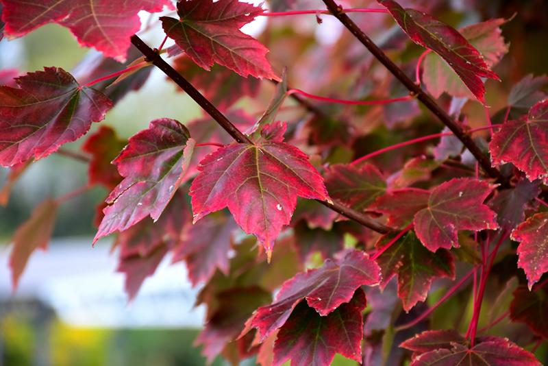 Brandywine Red Maple Acer Rubrum Brandywine In Ottawa Gatineau
