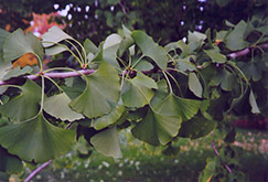 Ginkgo (Ginkgo biloba) at Ritchie Feed & Seed Inc.