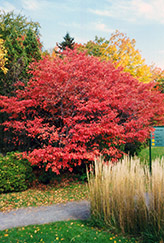 Shadblow Serviceberry (Amelanchier canadensis) at Ritchie Feed & Seed Inc.