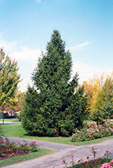 Norway Spruce (Picea abies) at Ritchie Feed & Seed Inc.