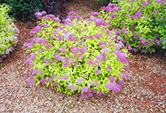 Goldmound Spirea (Spiraea japonica 'Goldmound') at Ritchie Feed & Seed Inc.