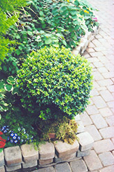 Korean Boxwood (Buxus microphylla 'var. koreana') at Ritchie Feed & Seed Inc.