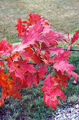Red Oak (Quercus rubra) at Ritchie Feed & Seed Inc.