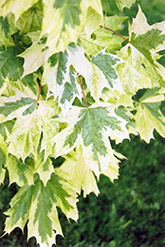 Harlequin Norway Maple (Acer platanoides 'Drummondii') at Ritchie Feed & Seed Inc.