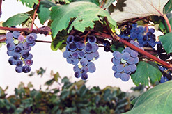 Concord Grape (Vitis 'Concord') at Ritchie Feed & Seed Inc.