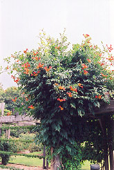 Trumpetvine (Campsis radicans) at Ritchie Feed & Seed Inc.
