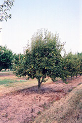 Bartlett Pear (Pyrus communis 'Bartlett') at Ritchie Feed & Seed Inc.