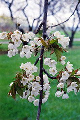 Hedelfingen Cherry (Prunus avium 'Hedelfingen') at Ritchie Feed & Seed Inc.