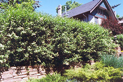 Common Privet (Ligustrum vulgare) at Ritchie Feed & Seed Inc.