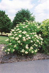 American Elder (Sambucus canadensis) at Ritchie Feed & Seed Inc.