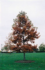 Swamp White Oak (Quercus bicolor) at Ritchie Feed & Seed Inc.