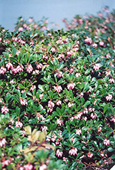 Vancouver Jade Bearberry (Arctostaphylos uva-ursi 'Vancouver Jade') at Ritchie Feed & Seed Inc.