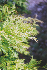 Golden Globe Arborvitae (Thuja occidentalis 'Golden Globe') at Ritchie Feed & Seed Inc.