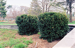 Hill's Yew (Taxus x media 'Hillii') at Ritchie Feed & Seed Inc.