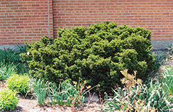 Dwarf Japanese Yew (Taxus cuspidata 'Nana') at Ritchie Feed & Seed Inc.