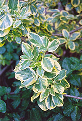 E.T. Gold Wintercreeper (Euonymus fortunei 'E.T. Gold') at Ritchie Feed & Seed Inc.