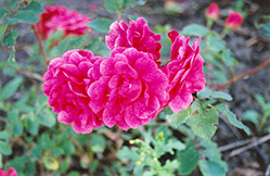 Morden Ruby Rose (Rosa 'Morden Ruby') at Ritchie Feed & Seed Inc.
