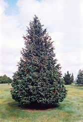 Blue Nootka Cypress (Chamaecyparis nootkatensis 'Glauca') at Ritchie Feed & Seed Inc.