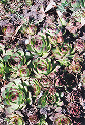 Kalinda Hens And Chicks (Sempervivum 'Kalinda') at Ritchie Feed & Seed Inc.