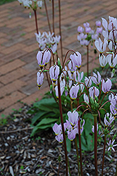 Shooting Star (Dodecatheon meadia) at Ritchie Feed & Seed Inc.