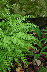 Northern Maidenhair Fern (Adiantum pedatum) at Ritchie Feed & Seed Inc.