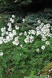Windflower (Anemone sylvestris) at Ritchie Feed & Seed Inc.