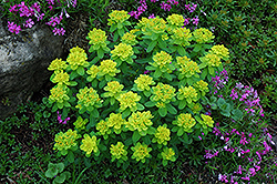 Cushion Spurge (Euphorbia polychroma) at Ritchie Feed & Seed Inc.