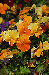 Penny Orange Pansy (Viola cornuta 'Penny Orange') at Ritchie Feed & Seed Inc.