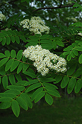 Cardinal Royal Mountain Ash (Sorbus aucuparia 'Cardinal Royal') at Ritchie Feed & Seed Inc.