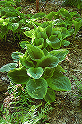 Frances Williams Hosta (Hosta 'Frances Williams') at Ritchie Feed & Seed Inc.