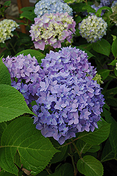Endless Summer® Hydrangea (Hydrangea macrophylla 'Endless Summer') at Ritchie Feed & Seed Inc.