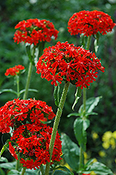 Maltese Cross (Lychnis chalcedonica) at Ritchie Feed & Seed Inc.