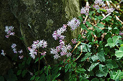 Dwarf Korean Meadow Rue (Thalictrum kiusianum) at Ritchie Feed & Seed Inc.