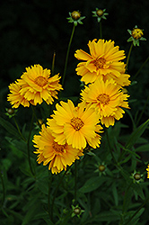 Early Sunrise Tickseed (Coreopsis 'Early Sunrise') at Ritchie Feed & Seed Inc.