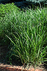 Switch Grass (Panicum virgatum) at Ritchie Feed & Seed Inc.