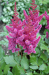 Visions Astilbe (Astilbe chinensis 'Visions') at Ritchie Feed & Seed Inc.