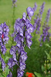 Common Monkshood (Aconitum napellus) at Ritchie Feed & Seed Inc.