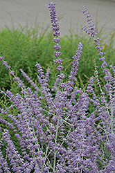 Russian Sage (Perovskia atriplicifolia) at Ritchie Feed & Seed Inc.