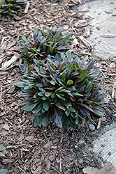 Chocolate Chip Bugleweed (Ajuga reptans 'Chocolate Chip') at Ritchie Feed & Seed Inc.