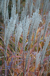 Flame Grass (Miscanthus sinensis 'Purpurascens') at Ritchie Feed & Seed Inc.