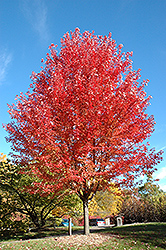 Autumn Blaze Maple (Acer x freemanii 'Jeffersred') at Ritchie Feed & Seed Inc.