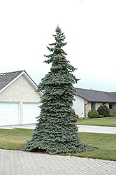 Weeping Blue Spruce (Picea pungens 'Pendula') at Ritchie Feed & Seed Inc.