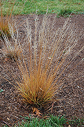 Moorflame Moor Grass (Molinia caerulea 'Moorflame') at Ritchie Feed & Seed Inc.