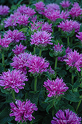 Petite Delight Beebalm (Monarda 'Petite Delight') at Ritchie Feed & Seed Inc.