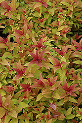 Goldflame Spirea (Spiraea x bumalda 'Goldflame') at Ritchie Feed & Seed Inc.