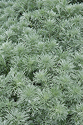 Silver Mound Artemesia (Artemisia schmidtiana 'Silver Mound') at Ritchie Feed & Seed Inc.