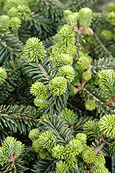 Dwarf Balsam Fir (Abies balsamea 'Nana') at Ritchie Feed & Seed Inc.